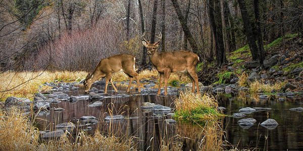 Photograph - Panorama Of A Woodland Creek With Whitetail Dee by Randall Nyhof