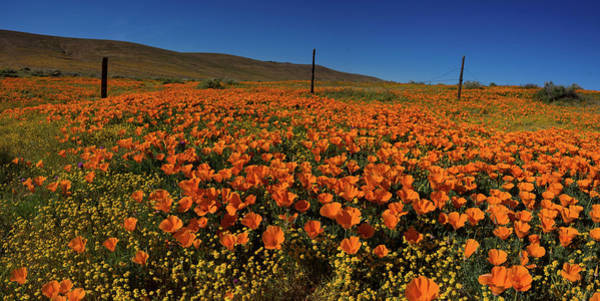 Wall Art - Photograph - Panorama Of Poppies Antelope Valley by Bridget Calip