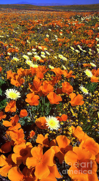 Photograph - Panoramic California Poppies Desert Dandelion California by Dave Welling