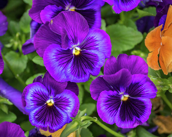 Wall Art - Photograph - Pansies In Purple And Blue by Bill Pevlor