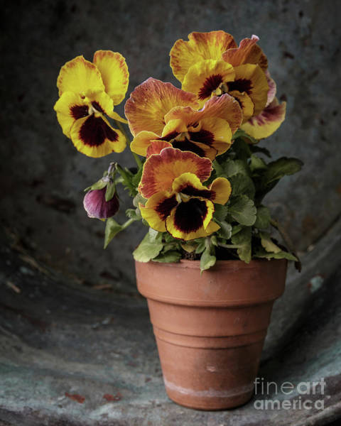 Clay Pot Photograph - Pansy Flowers by Edward Fielding