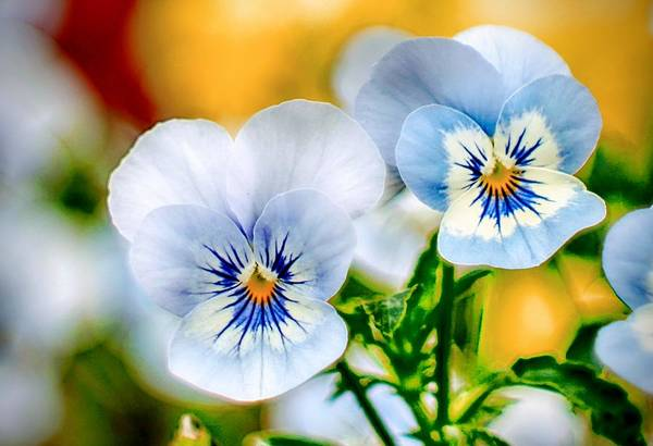 Wall Art - Photograph - Pansy Forest by Ches Black