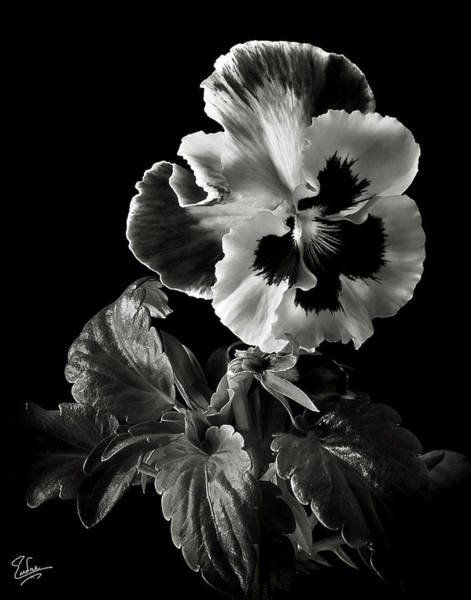 Wall Art - Photograph - Pansy In Black And White by Endre Balogh
