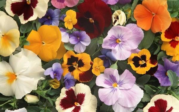 Flower Digital Art - Pansy by Maye Loeser