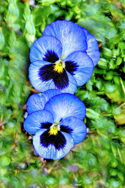 Photograph - Pansy Twins by Kay Brewer
