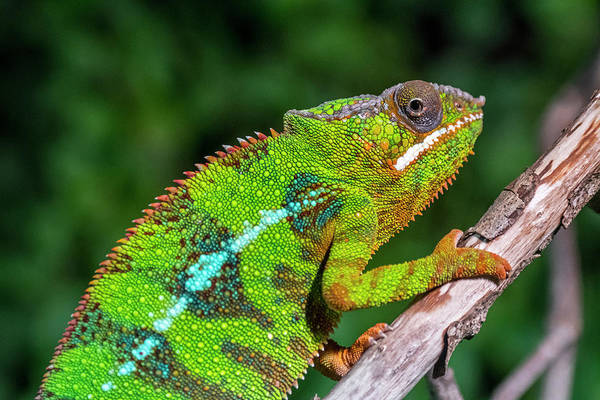 Photograph - Panther Chameleon by Arterra Picture Library