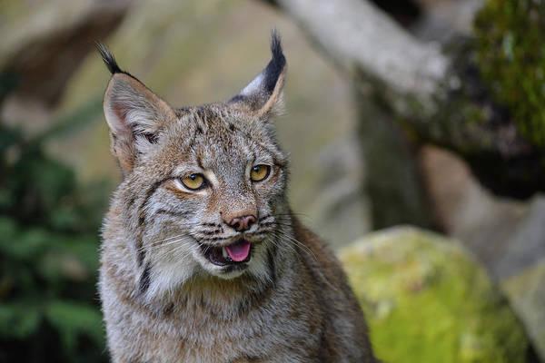 Panting Lynx Art Print
