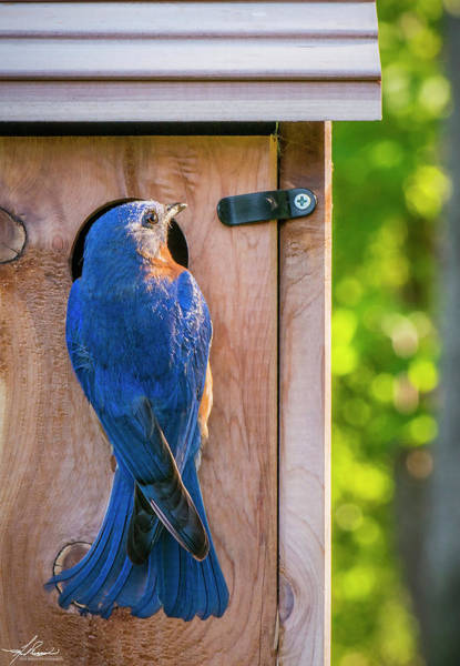 Photograph - Papa Bluebird At The Nest Box by Philip Rispin