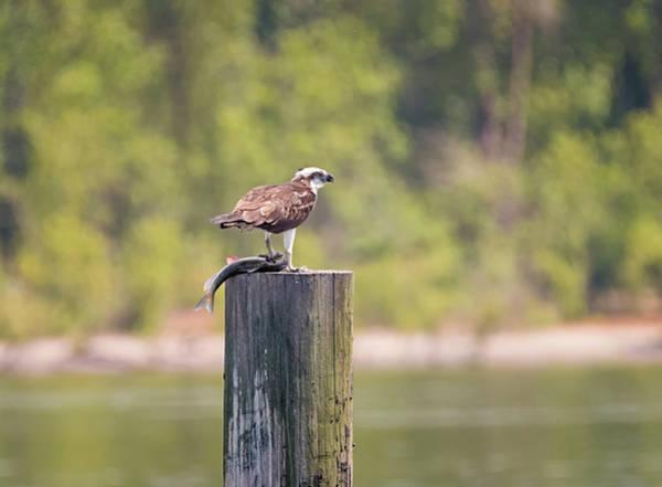 Photograph - Papa Osprey With Fish by Loree Johnson