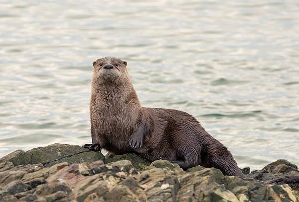 Photograph - Papa Otter by Loree Johnson