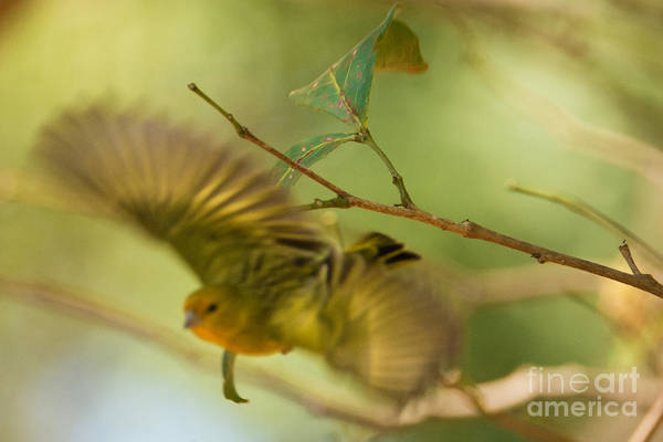 Photograph - Papagaio In Flight by James Hennis