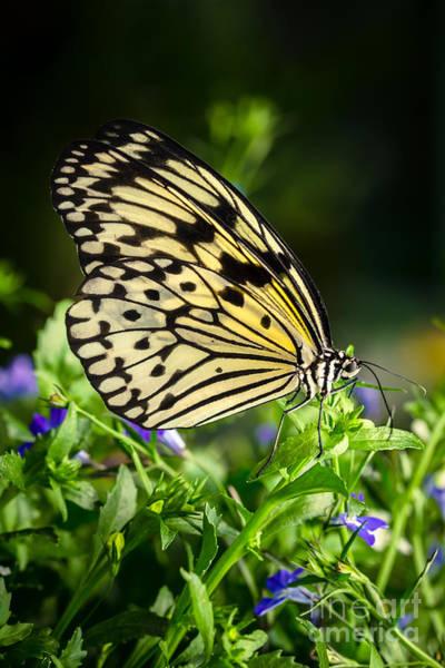 Photograph - Paper Kite Butterfly by Ana V Ramirez