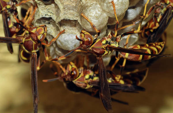 Photograph - Paper Wasps by Larah McElroy