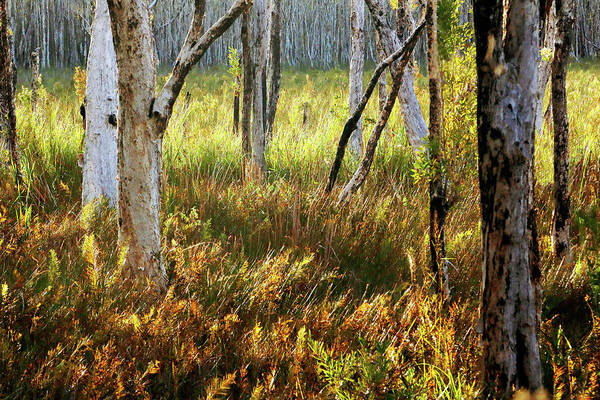 Photograph - Paperbark Swamp by Nicholas Blackwell
