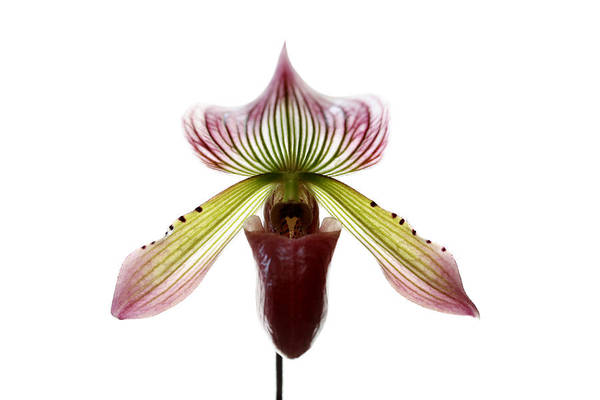 Photograph - Paphiopedilum Lawrenceanum by Marilyn Hunt