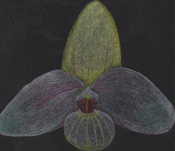 Pastel - Paphiopedilum Mem. Orchid by M Valeriano
