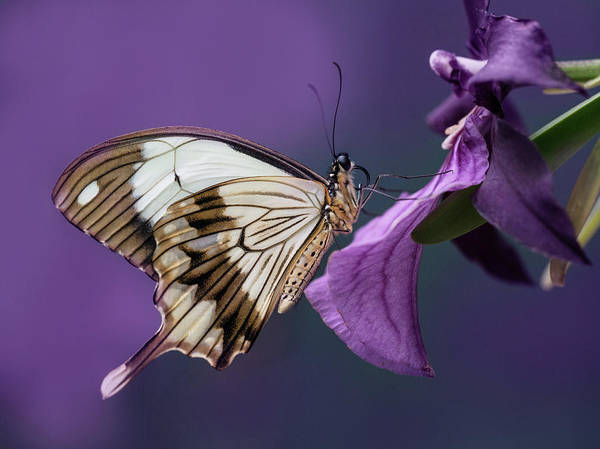 Nature Wall Art - Photograph - Papilio Dardanus On Violet Flowers by Jaroslaw Blaminsky
