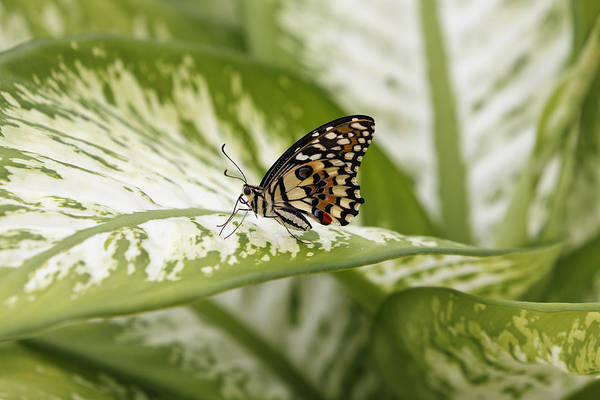 Photograph - Papilio Demoleus by Goyo Ambrosio