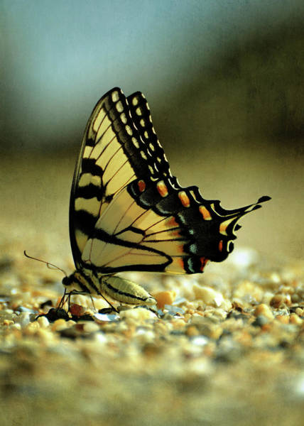 Sherman Photograph - Papilio Glaucus Eastern Tiger Swallowtail by Rebecca Sherman