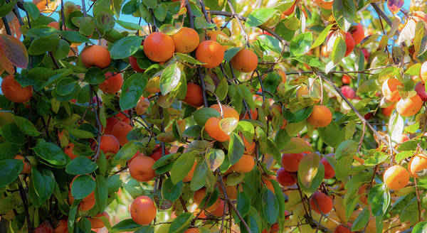 Paradise For Persimmons Art Print