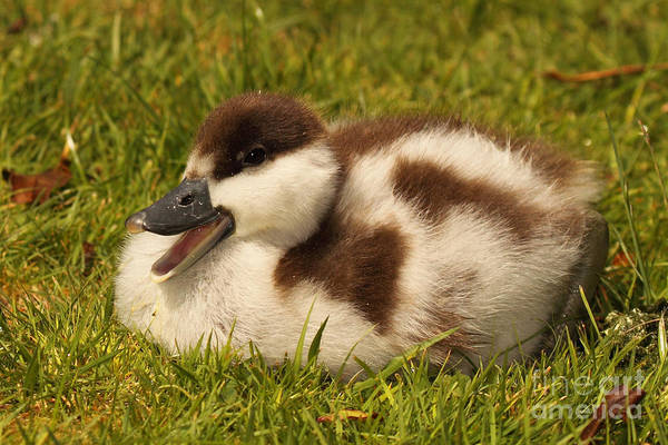 Wall Art - Photograph - Paradise Shelduckling Calling by Max Allen