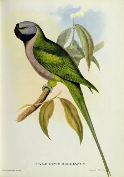 Wall Art - Photograph - Parakeet by John Gould