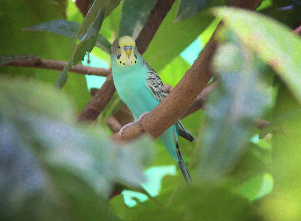 Photograph - Parakeet by Sue Collura