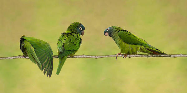 Photograph - Parakeet Trio by Dawn Currie