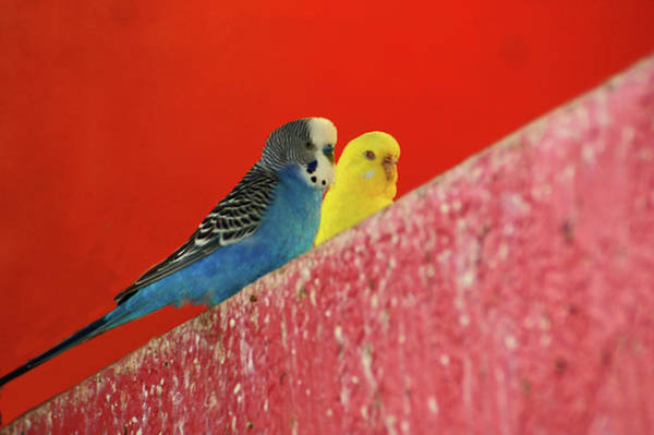 Photograph - Parakeets by Michael Raiman