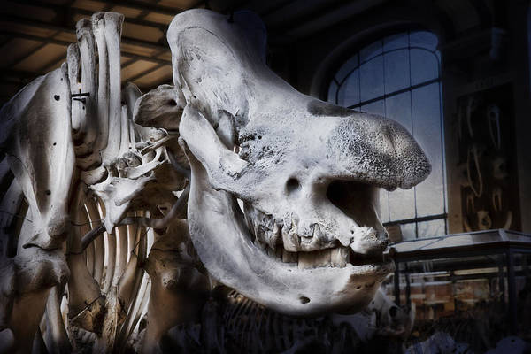 Photograph - Paris Gallery Of Paleontology 3 by Evie Carrier