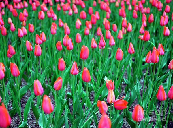 Photograph - Park Avenue Tulips New York City by John Rizzuto