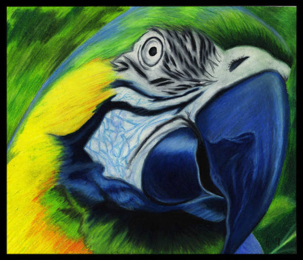Wall Art - Drawing - Parrot by Alycia Ryan