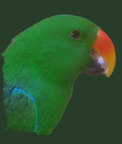 Photograph - Parrot Head by Pamela Walton