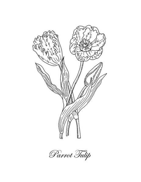 Drawing - Parrot Tulips Botanical Drawing Black And White by Irina Sztukowski
