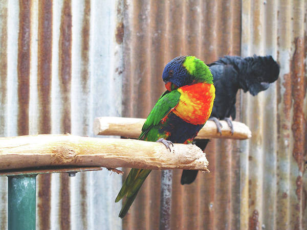 Photograph - Parrots Nodding by Kathy Corday
