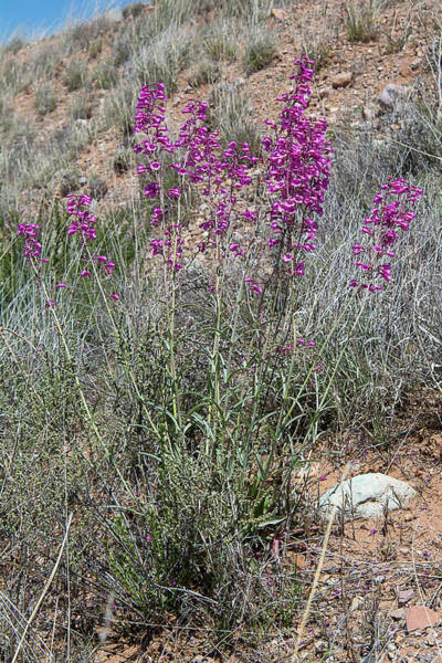 Wall Art - Photograph - Parry's Penstemon by Rich Leighton