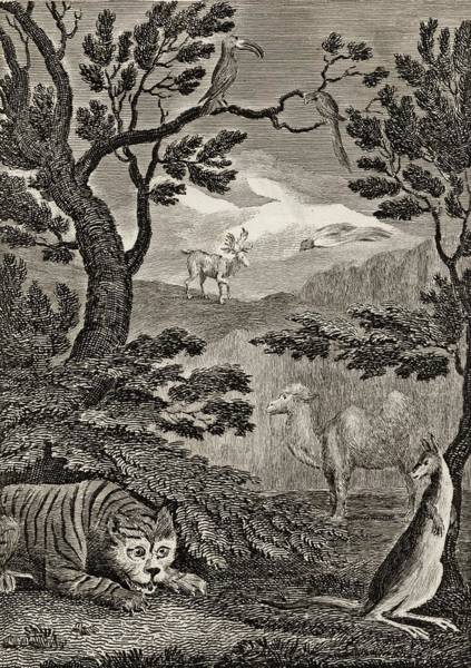 White Tiger Drawing - Part Of The Natural History Of Asia by Vintage Design Pics