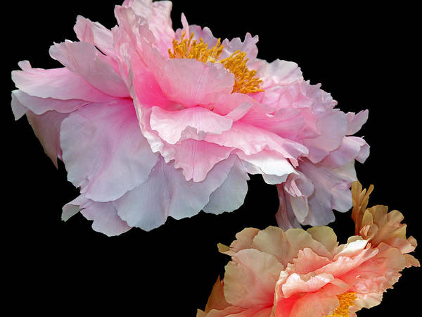 Mixed Media - Pas De Deux Glowing Peonies by Lynda Lehmann