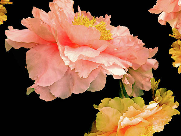 Photograph - Pas De Deux Peonies With Yellow by Lynda Lehmann