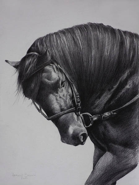 Beautiful Horse Wall Art - Drawing - Paso Fino by Harvie Brown