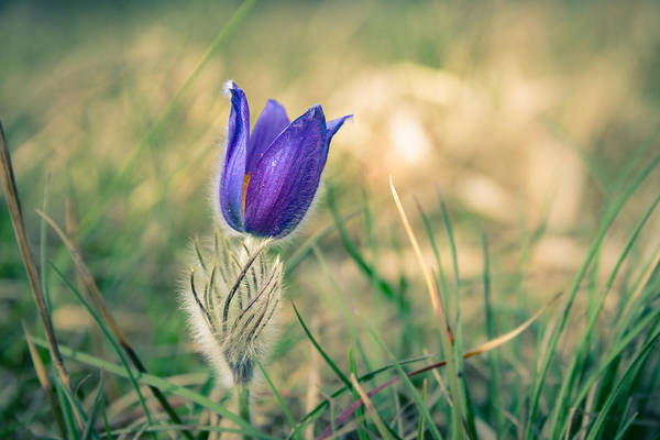 Pasque Flower Art Print
