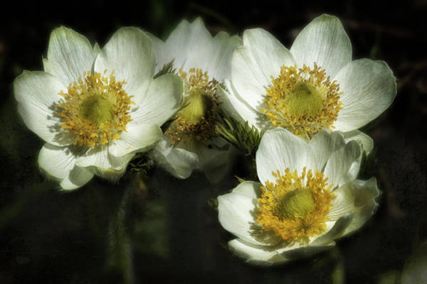 Photograph - Pasque Flowers by Belinda Greb