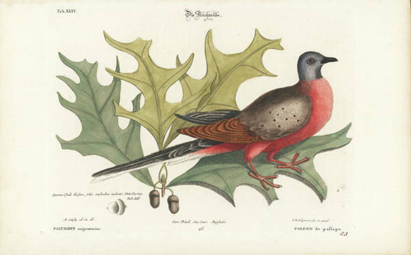 Drawing - Passenger Pigeon And Red Oak by Mark Catesby