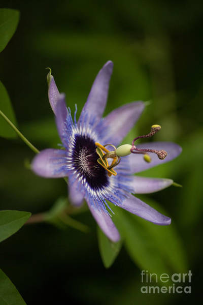 Passion Flower Photograph - Passiflora by Mike Reid