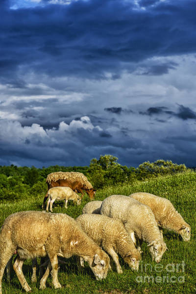 Photograph - Passing Storm And Grazing Sheep by Thomas R Fletcher