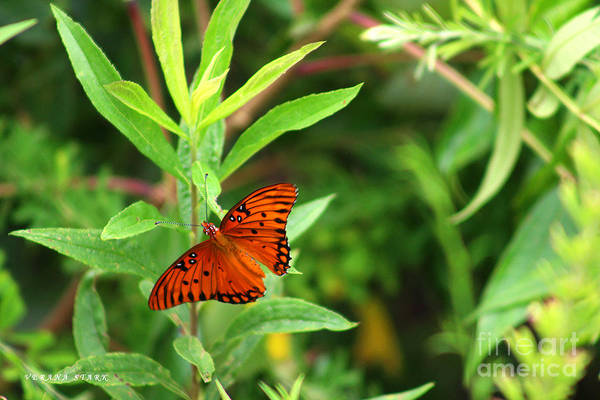 Wall Art - Photograph - Passion Butterfly-- Agraulis Vanillae 1 by Verana Stark