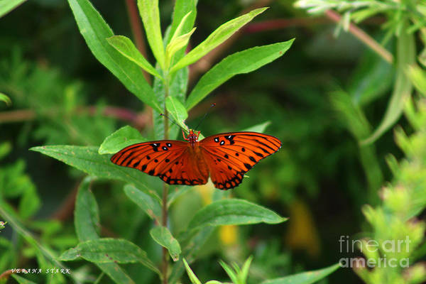 Wall Art - Photograph - Passion Butterfly-- Agraulis Vanillae 2 by Verana Stark
