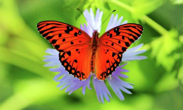 Photograph - Passion Butterfly by Cynthia Guinn