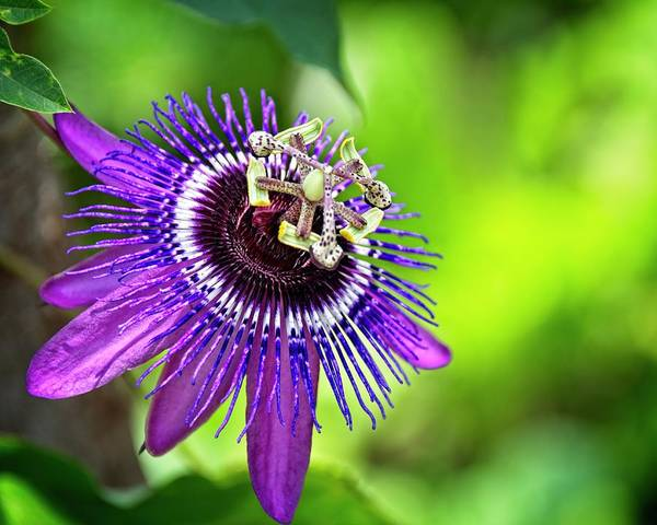 Photograph - Passion Flower by Carolyn Marshall