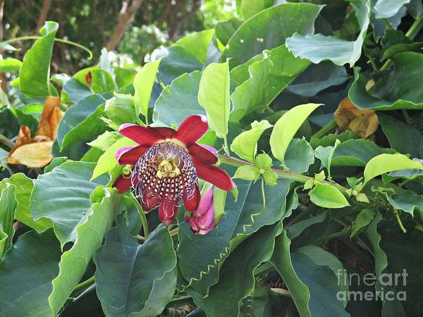 Photograph - Passion Flower In Igueste by Chani Demuijlder